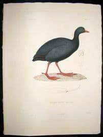 Remond after Prevost Voyage de la Bonite C1850 Folio HC Bird Print. Giant Coot