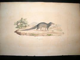 Saint Hilaire & Cuvier C1830 Folio Hand Col Print. Mongoose