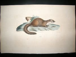 Saint Hilaire & Cuvier C1830 Folio Hand Colored Print. Beech Marten