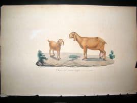 Saint Hilaire & Cuvier C1830 Folio Hand Colored Print. Egyptian Goat