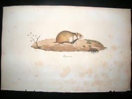 Saint Hilaire & Cuvier C1830 Folio Hand Colored Print. Hamster