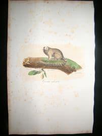 Saint Hilaire & Cuvier C1830 Folio Hand Colored Print. Male Marmoset Monkey