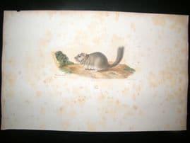 Saint Hilaire & Cuvier C1830 Folio Hand Colored Print. The Dormouse