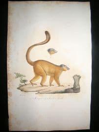 Saint Hilaire & Cuvier C1830 Folio Hand Colored Print. The Mongoose