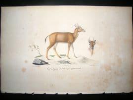 Saint Hilaire & Cuvier C1830 Folio Hand Colored Print. Virginian Deer