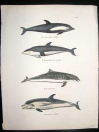 Schinz 1836 Antique Hand Col Print. Dolphins 166