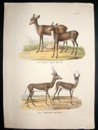 Schinz 1845 Antique Hand Col Print. Antilopes 61
