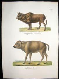 Schinz 1845 Antique Hand Col Print. Aurochs, Bison. Cattle 75
