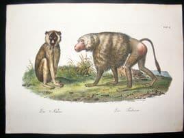 Schinz 1845 Antique Hand Col Print. Babboon, Monkeys 2
