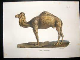 Schinz 1845 Antique Hand Col Print. Dromedary Camel 66