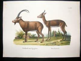 Schinz 1845 Antique Hand Col Print. Egyptian Goat  68