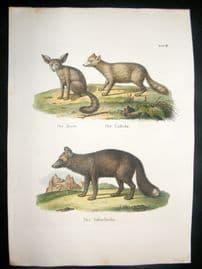 Schinz 1845 Antique Hand Col Print. Fennec & Red Fox 18