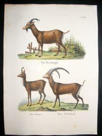 Schinz 1845 Antique Hand Col Print. Goats 67