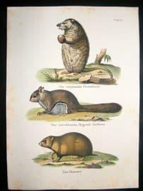 Schinz 1845 Antique Hand Col Print. Hamster, Oppossum 35