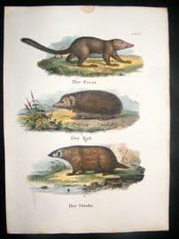Schinz 1845 Antique Hand Col Print. Hedgehog, Badger 11