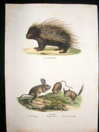 Schinz 1845 Antique Hand Col Print. Hedgehog, Jerboa 38