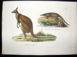 Schinz 1845 Antique Hand Col Print. Kangaroo, Pangolin. Australia 30