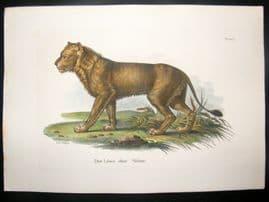 Schinz 1845 Antique Hand Col Print. Lion 21
