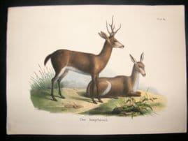 Schinz 1845 Antique Hand Col Print. Marsh Deer 60
