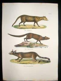 Schinz 1845 Antique Hand Col Print. Mongoose, Civet 19