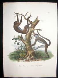 Schinz 1845 Antique Hand Col Print. Monkeys 6