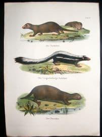 Schinz 1845 Antique Hand Col Print. Otter, Skunk 15