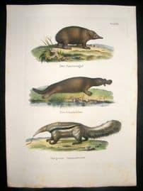 Schinz 1845 Antique Hand Col Print. Platypus, Ant Eater 31