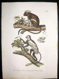 Schinz 1845 Antique Hand Col Print. Primates, Monkeys 3