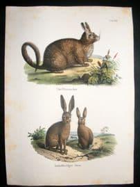 Schinz 1845 Antique Hand Col Print. Rabbits 36