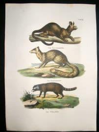 Schinz 1845 Antique Hand Col Print. Raccoon 25