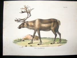 Schinz 1845 Antique Hand Col Print. Reindeer 62