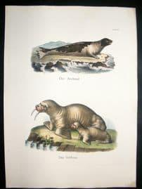 Schinz 1845 Antique Hand Col Print. Seal, Walrus 27
