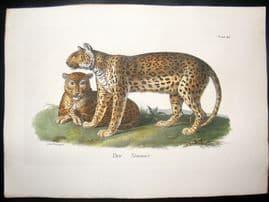 Schinz 1845 Antique Hand Col Print. Tiger 24