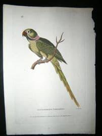 Shaw C1800's Antique Hand Col Bird Print. Alexandrine Parakeet