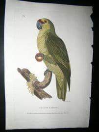 Shaw C1800's Antique Hand Col Bird Print. Amazon Parrot