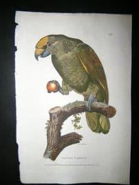 Shaw C1800's Antique Hand Col Bird Print. Aourou Parrot