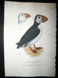 Shaw C1800's Antique Hand Col Bird Print. Arctic & Northern Puffin