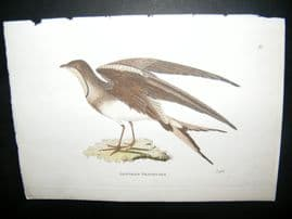 Shaw C1800's Antique Hand Col Bird Print. Austrian Pratincole