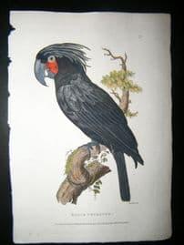 Shaw C1800's Antique Hand Col Bird Print. Black Cockatoo