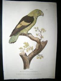 Shaw C1800's Antique Hand Col Bird Print. Black Winged Parakeet