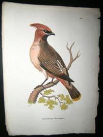 Shaw C1800's Antique Hand Col Bird Print. Bohemian Waxwing