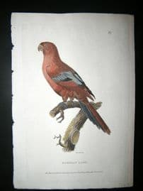 Shaw C1800's Antique Hand Col Bird Print. Bornean Lory. Borneo Parrot