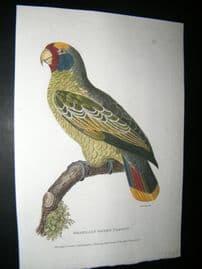 Shaw C1800's Antique Hand Col Bird Print. Brazilian Green Parrot