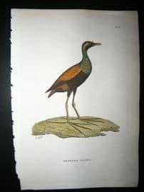 Shaw C1800's Antique Hand Col Bird Print. Bronzed Jacana