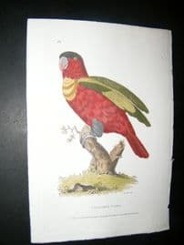 Shaw C1800's Antique Hand Col Bird Print. Collared Lory Parrot