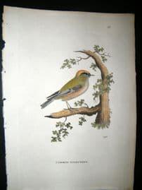 Shaw C1800's Antique Hand Col Bird Print. Common Goldcrest