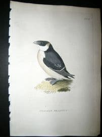 Shaw C1800's Antique Hand Col Bird Print. Common Seadove