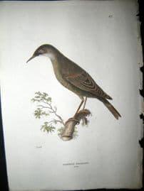 Shaw C1800's Antique Hand Col Bird Print. Common Starling