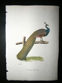 Shaw C1800's Antique Hand Col Bird Print. Crested Peacock