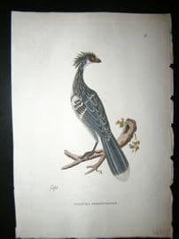 Shaw C1800's Antique Hand Col Bird Print. Crested Serpenteater